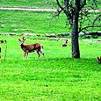 Deer and Geese